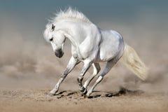 Vit häst i öken royaltyfria foton