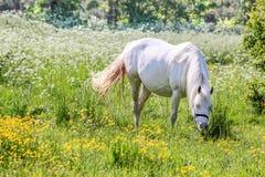 Vit häst i blommaäng arkivbilder