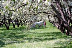 Vit häst i blommande äppleträdgård Royaltyfria Bilder