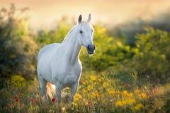 Vit häst i blommor fotografering för bildbyråer