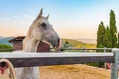 Vit häst i dess bilaga royaltyfria foton