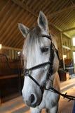 Vit häst i en ladugård Arkivbilder