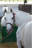 Vit häst i en stall Selektivt fokusera Arkivfoto