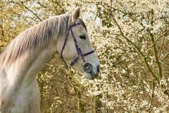Vit häst i ett fält med träd fotografering för bildbyråer