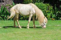 Vit häst i fält Royaltyfri Bild