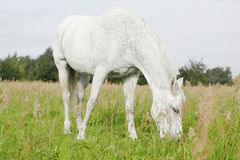 Vit häst i fälten arkivfoton