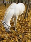 Vit häst i höstskogen arkivbild