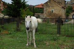 Vit häst i lantgården Arkivfoton