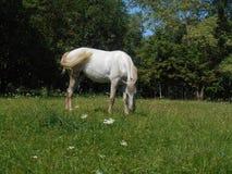 Vit häst i parkera på det gröna gräset Arkivbild