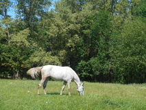 Vit häst i parkera på det gröna gräset Fotografering för Bildbyråer