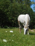 Vit häst i parkera på det gröna gräset Arkivbilder