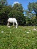 Vit häst i parkera på det gröna gräset Royaltyfri Fotografi
