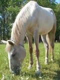 Vit häst i parkera på det gröna gräset Arkivfoto