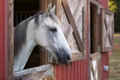 Vit häst i röd ladugård Arkivfoton
