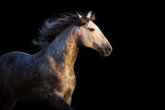 Vit häst i rörelse Arkivbild