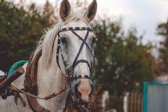 Vit häst i sele arkivfoto