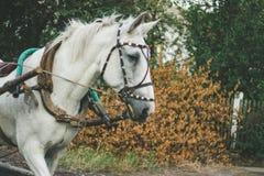 Vit häst i sele royaltyfria bilder