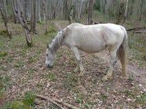Vit häst i skogen Royaltyfri Bild