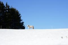 Vit häst i snön fotografering för bildbyråer