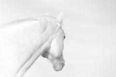 Vit häst i svartvitt Arkivbild