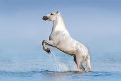 Vit häst i vatten fotografering för bildbyråer