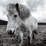 Vit häst i vintern Fotografering för Bildbyråer