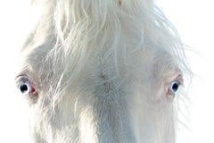 Vit häst med blåa ögon Royaltyfri Bild