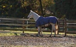 Vit häst med den blåa filten Arkivfoton