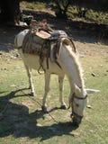 Vit häst med en tappningsadel Royaltyfri Fotografi