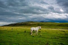 Vit häst med lång man i blomma royaltyfria foton