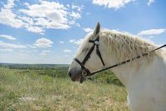 Vit häst med långt manslut upp ståenden mot grönt vårfält Vit häst mot bakgrunden av fältet close upp Royaltyfri Fotografi
