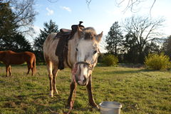 Vit häst med sadeln som ser rak på Arkivfoton