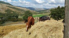 Vit häst mot ett kullerstenstenhus Arkivbild