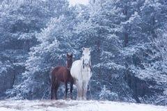 Vit häst och föl - vinterskog Royaltyfria Foton