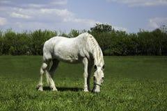 Vit häst på ängen Arkivfoton