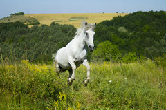 Vit häst på ängen Royaltyfri Bild