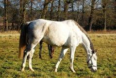 Vit häst på catwalken Fotografering för Bildbyråer