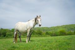 Vit häst på en naturbakgrund Royaltyfria Foton