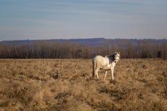 Vit häst på fält Royaltyfri Foto