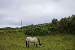 Vit häst på fältet Arkivfoto