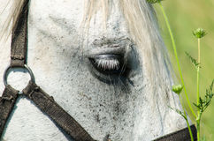 Vit häst på fältet med solrosor Royaltyfri Foto