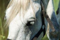 Vit häst på fältet med solrosor Royaltyfri Fotografi