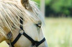 Vit häst på fältet med solrosor Royaltyfria Bilder