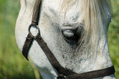 Vit häst på fältet med solrosor Arkivfoto