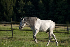 Vit häst på fältet som fritt kör Arkivbild