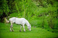 Vit häst på grönt fält Arkivfoto