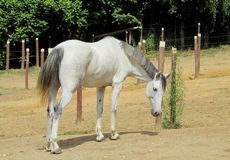 Vit häst på lantgård Arkivfoto