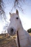 Vit häst på lantgård med ljus himmel som bakgrund Royaltyfria Bilder