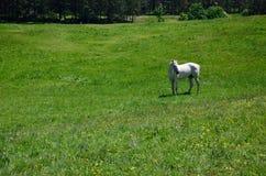 Vit häst på våräng Arkivfoto