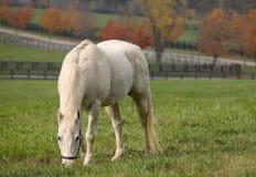 Vit häst som äter för aftongrönska för gräs den härliga naturen royaltyfria bilder